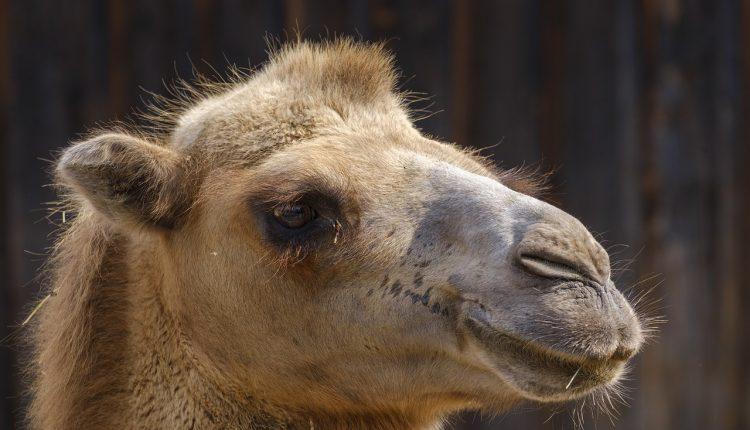 camel-3633101_1280