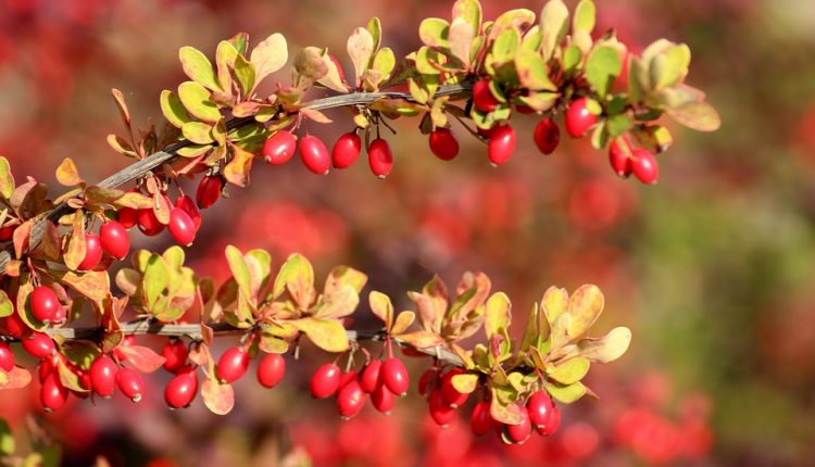 barberry-3733393_960_720